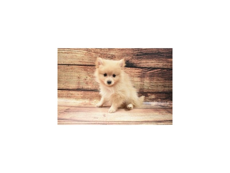 Pomeranian-Male-Cream-2940963-Petland St. Louis, Missouri
