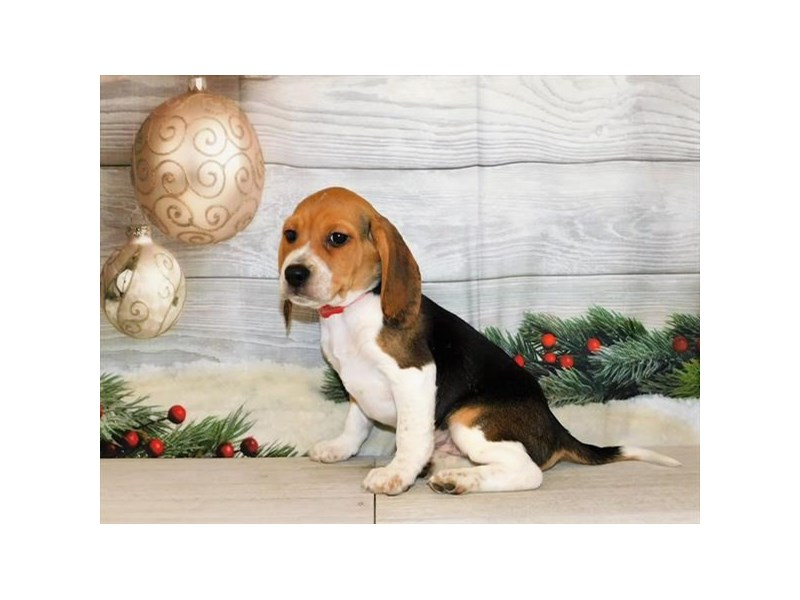 Beagle-Male-Tri-Colored-2947144-Petland St. Louis, Missouri