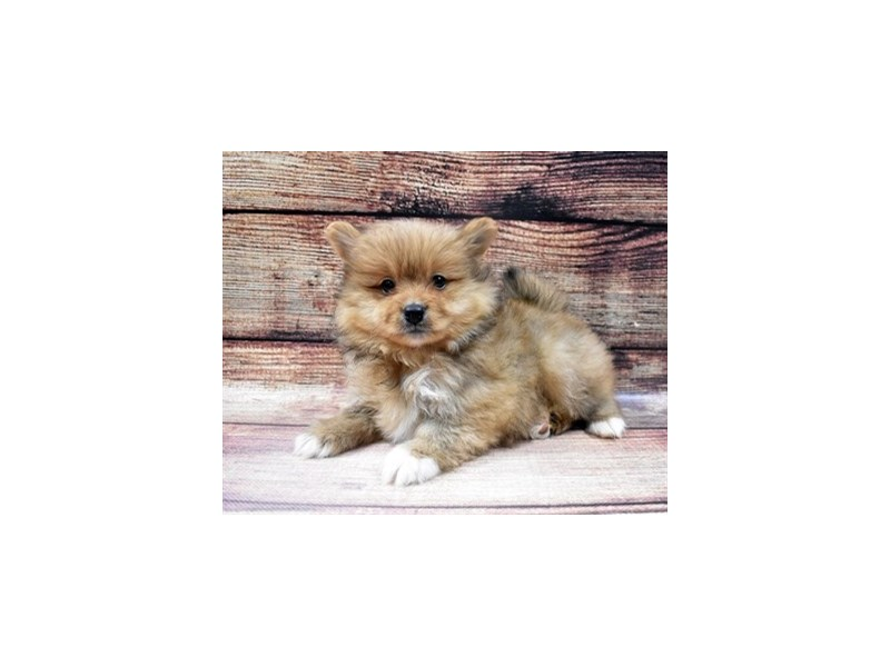 Pomeranian-Male-Orange Sable-2956140-Petland St. Louis, Missouri