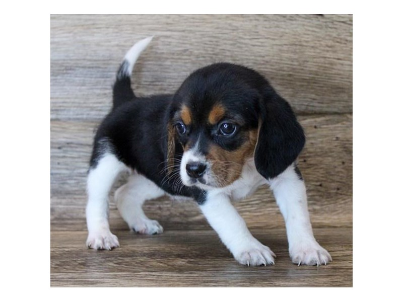 Beagle-Female-Black Tan / White-2964439-Petland St. Louis, Missouri