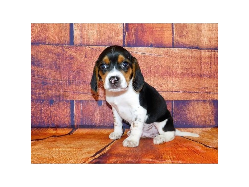 Beagle-Male-Black White / Tan-2971751-Petland St. Louis, Missouri