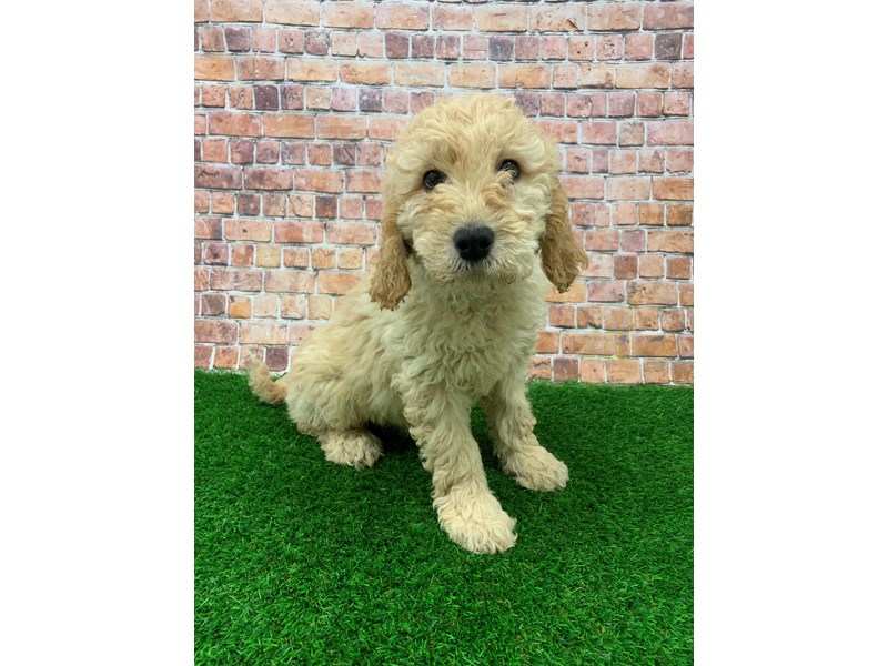Goldendoodle-Female-Cafe Au Lait-2981874-Petland St. Louis, Missouri