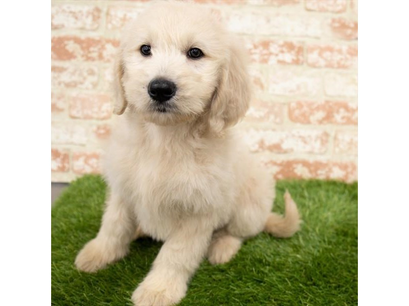 Goldendoodle-Female-Golden-3000651-Petland St. Louis, Missouri