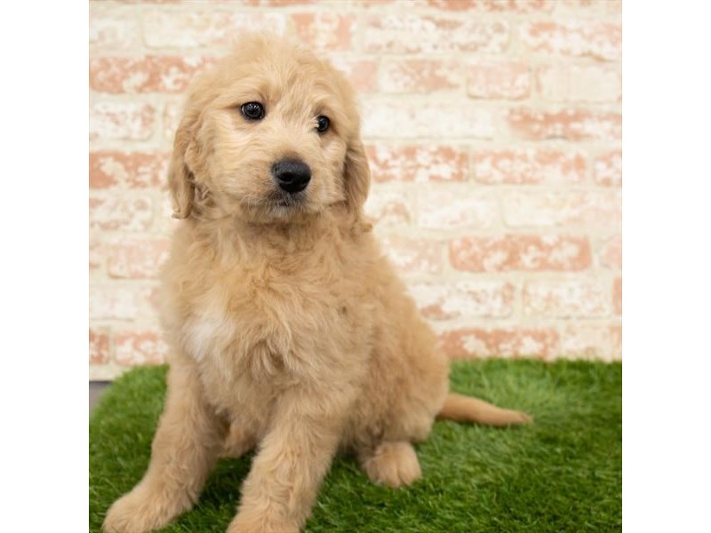 Goldendoodle-Male-Golden-3000655-Petland St. Louis, Missouri