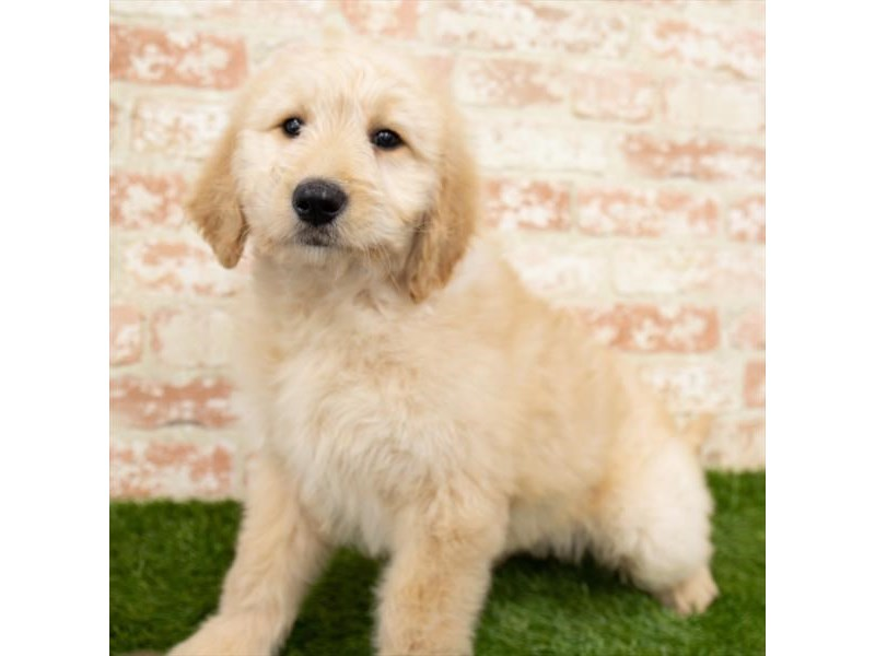Goldendoodle-Female-Golden-3010366-Petland St. Louis, Missouri