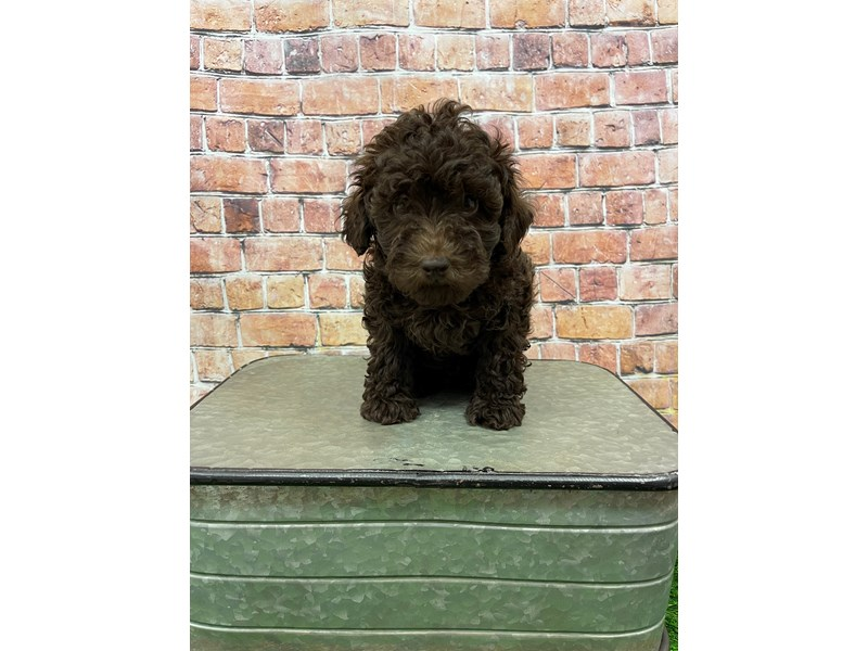 Poodle-Male-Chocolate-3018250-Petland St. Louis, Missouri