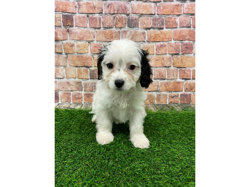 Cavachon-Female-Black & White-3018062-Petland St. Louis, Missouri