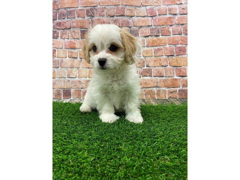 Cavachon-Male-Blenheim & White-3018025-Petland St. Louis, Missouri