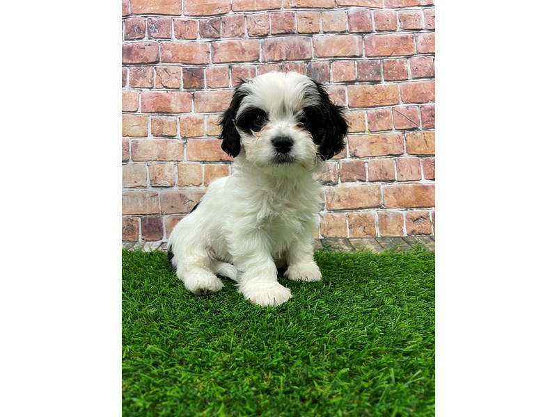 Cavachon-Male-Black & White-3018047-Petland St. Louis, Missouri