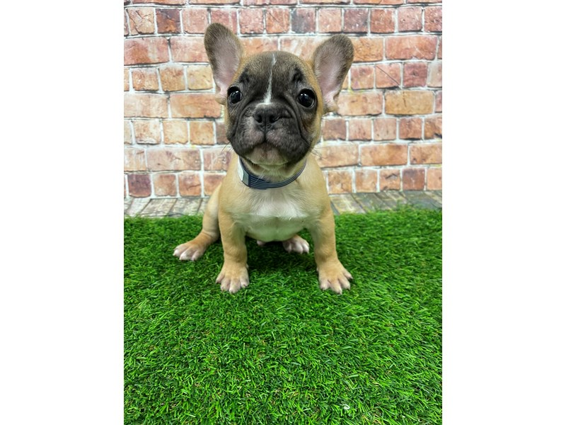 French Bulldog-Male-Fawn-3060499-Petland St. Louis, Missouri