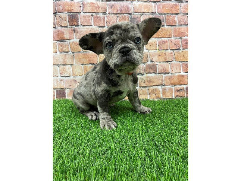 French Bulldog-Female-Blue Merle-3068691-Petland St. Louis, Missouri