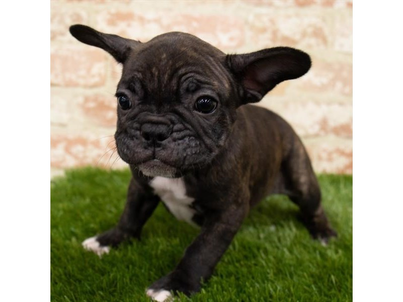 French Bulldog-Female-Brindle-3071303-Petland St. Louis, Missouri