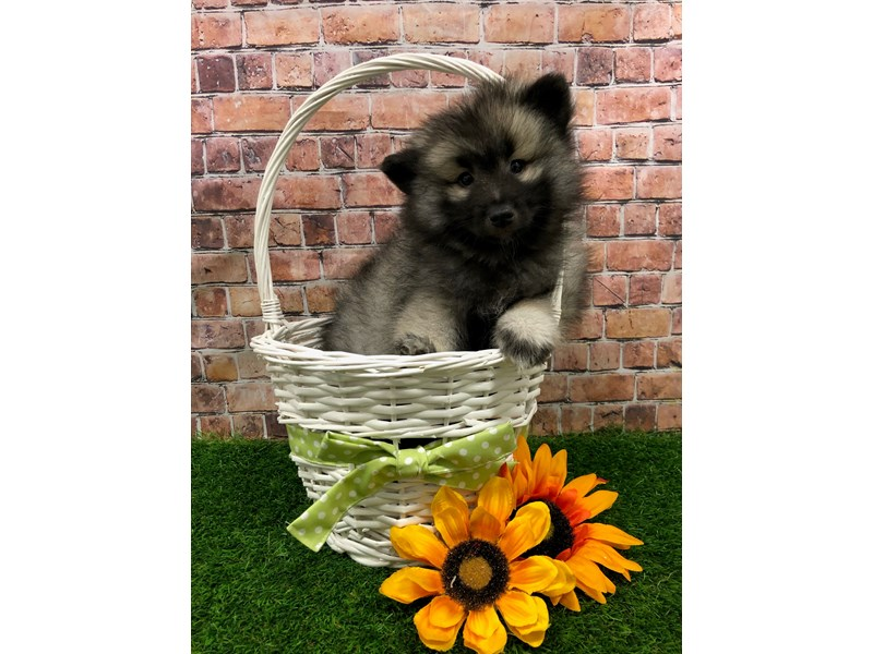 Keeshond-Female-Black / Silver-3078665-Petland St. Louis, Missouri