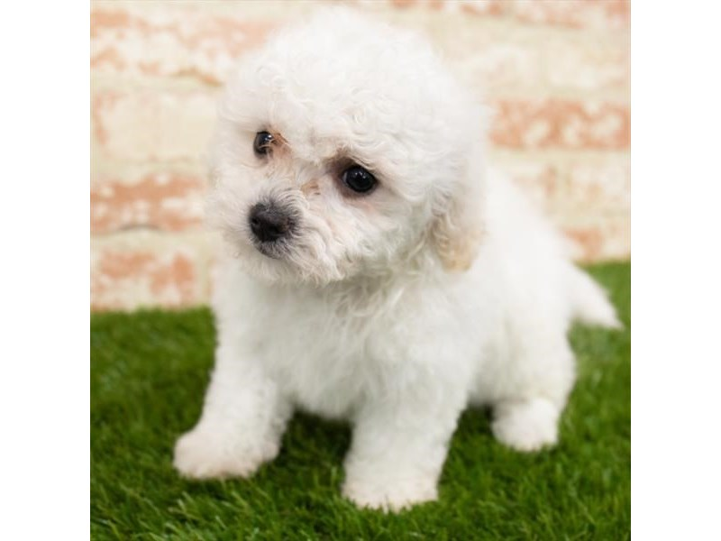 Bichon Poo-Male-White-3092797-Petland St. Louis, Missouri