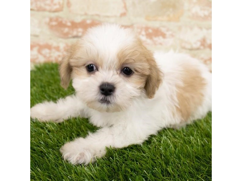Shih Tzu-Female-Gold / White-3092801-Petland St. Louis, Missouri